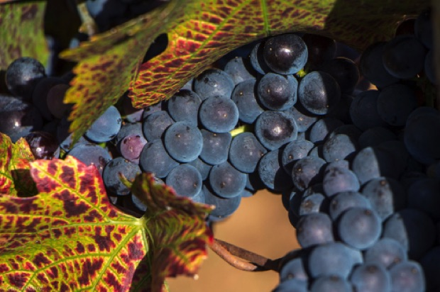 Pinot Noir Grapes in Fall Maresh Red Hills Vineyard Oregon