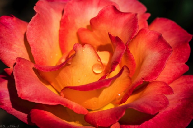 Orange Rose with Dew Drop Portland Rose Test Gardens Early Spring 2018